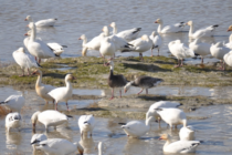 Protéger les oiseaux migrateurs depuis 200 ans