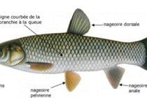La carpe asiatique : un nouvel intrus dans les eaux du Québec