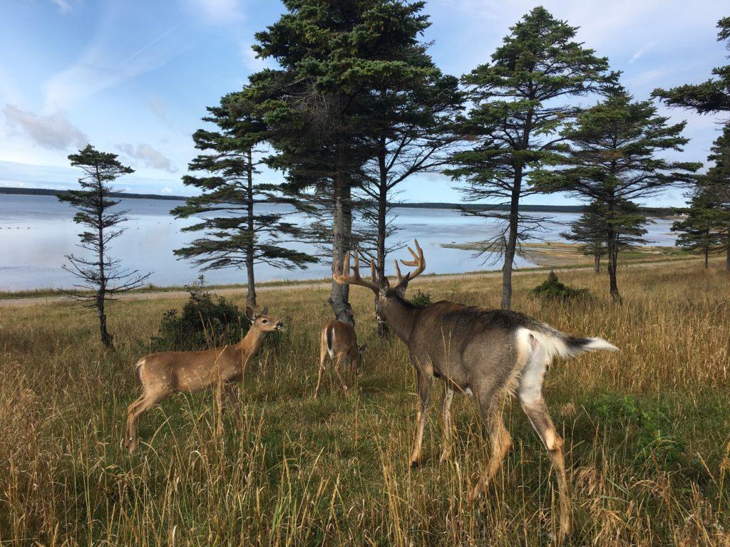 Chevreuil : nouvelle formule de chasse chez Sépaq Anticosti
